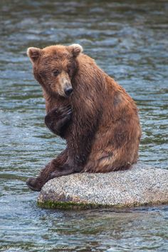 """Bear: """"Hand on my heart it was the largest salmon I had ever seen! The Grandeur of Our National Parks, And The Wonderful Wildlife That Call Them Home! Large Animals, Animals And Pets, Cute Animals, Brother Bear, Momma Bear, Love Bear, Animal 2, Polar Bear, Grizzly Bears"""