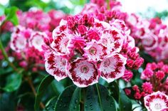 Kalmia latifolia 'yankee doodle'. I love mountain laurel. It is the essence of early summer in the mountains. I planted one in the backyard in the shade of the holly tree, and it is quite happy.