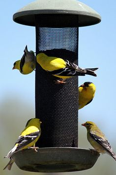 Yellow Finches