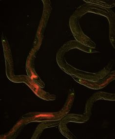 East Lansing, MI (Scicasts) – Living in the guts of worms are seemingly innocuous bacteria that contribute to their survival. With a flip of a switch, however, these same bacteria transform from harmless microbes into deadly insecticides.
