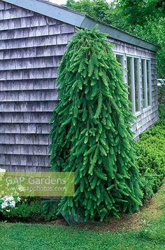 Picea abies 'Inversa' (sin. P. abies 'Pendula')