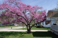 My neighbor's tree--sensational!!