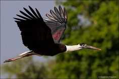 wooly-necked stork (by rajendra prahan)