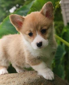 #WelshCorgi #Pembroke #Charming #PinterestPuppies #PuppiesOfPinterest #Puppy #Puppies #Pups #Pup #Funloving #Sweet #PuppyLove #Cute #Cuddly #Adorable #ForTheLoveOfADog #MansBestFriend #Animals #Dog #Pet #Pets #ChildrenFriendly #PuppyandChildren #ChildandPuppy #BuckeyePuppies www.BuckeyePuppies.com