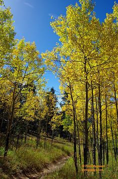 Aspen Autumn Amble - Golden Gate Canyon State Park |