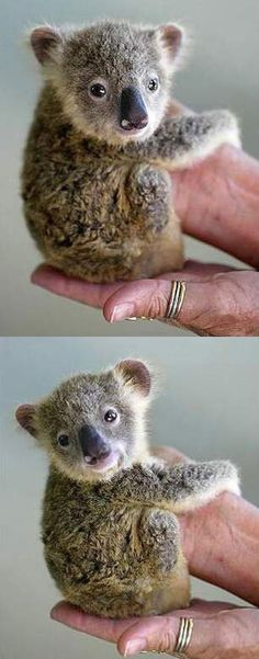 baby koala...He needs his momma.  My first born daughter was almost his size when she was born.