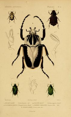 Cuvier Day~Goliath beetle and other coleoptera, zoology illustration Science Illustration, Nature Illustration, Botanical Illustration, Antique Illustration, Goliath Beetle, Bug Art, Beautiful Bugs, Insect Art, Bugs And Insects