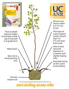 In celebration of Arbor Day, here is a helpful diagram for planting a tree from a container! This figure came from the California Master Gardener Handbook-Second Edition.