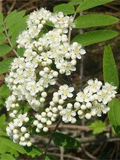 Mountain Ash Flowers- Prudence