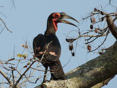 A bird's eye view of Kafue - http://www.zambezitraveller.com/kafue/birding/bird%E2%80%99s-eye-view-kafue (Image credir - Southern ground hornbill -  GAME RANGERS INTERNATIONAL/STEPHANIE TURNER
