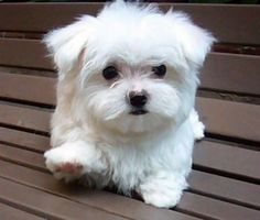 15 Best Small Dog Breeds for Indoor Pets. When I began searching for the perfect pooch several years ago to keep me company, I researched all the best small dogs that are known to be good indoor pe… Maltese Puppies For Sale, Maltese Dogs, Cute Puppies, Cute Dogs, Dogs And Puppies, Doggies, Teacup Maltese, Mini Maltese, Baby Maltese