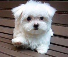 Adorable Maltese puppy #dogs #Maltese #maltipoo #cutedogs #smalldogs #teacupdogs