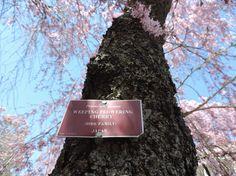 Flowering cherry trees all around Washington