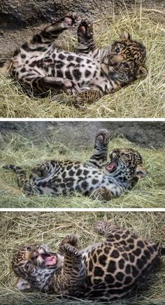 Jaguar cub cuteness brought to you by Penny Hyde