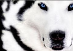 Image result for wolf with blue eyes