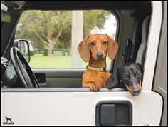 Dachshunds in a jeep!