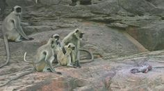Langur monkeys wallpapers for free download about wallpapers.