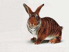funny bunnies   ikbhal: funny rabbit lookes like tiger