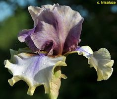 TB Iris 'Karibik' (Mego, 2010)