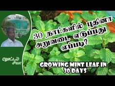 A stage by stage video with methods on growing Mint in terrace garden