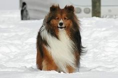 Google Image Result for http://www.dog-obedience-training-review.com/sites/default/files/Sheltie-Training.jpg