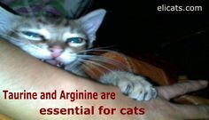 Taurine and Arginine are essential for cats #TaurineAndArginineAreEssentialForCats http://elicats.it/taurine-and-arginine-are-essential-for-cats/ Taurine is an essential amino acid which cats can not synthesize, therefore it must be added to their diet. It is found exclusively in proteins of animal origin and is one of the indispensable amino acids for the cat. Taurine helps to strengthen the immune system, increases the action of ...