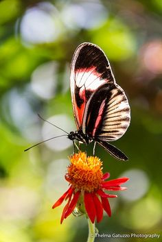 Postman Butterfly (heliconius melpomene) found from Mexico to South America