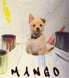 Mango, the Jack-A-Ranian (Jack Russell Terrier / Pomeranian Hybrid) puppy at 3 months old