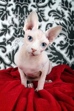 Sphynx kittens for sale Sphynx cats for sale naked cats for sale naked cats, NADA Sphynx, Devon Rex, Lykoi, Cats sphynx, sphinx, esfinge, sp...