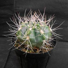 Gymnocalycium valnicekianum v. polycentralis, Mesa seed 493.7