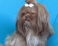 Shih Tzu Coat Colors:  Liver Shih Tzu have brown noses, eye rims and paw pads