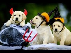 Funny DOGS in COSTUMES [Funny Pets] -  #dog #funnydogs #puppy #doglover #animal #pet #cute #pets #animales #tagsforlikes Stop Your Dog's Behavior Problems! Click HERE to learn how! DOGS in COSTUMES: Hilarious video! ➤ Check out these dog costumes on Amazon & support our channel: ..  - #Dogs