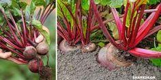 Τα Μυστικά της Καλλιέργειας του Παντζαριού στον Λαχανόκηπο Fauna, Nature, Flowers, Gardening, Philosophy, Tips, Ideas, Plants, Lawn And Garden