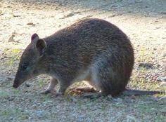 The Adorable Bandicoots Of Australia