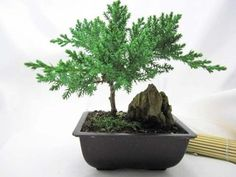 Juniper-Bonsai-Tree-with-Mountains-Plant-Zen-Best-Gift-New