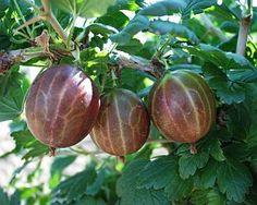 Ribes uva-crispa 'Remarka'