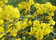 Le mahonia (Mahonia blossom) est un très bel arbuste qui illumine de ses fleurs jaunes le jardin en hiver.
