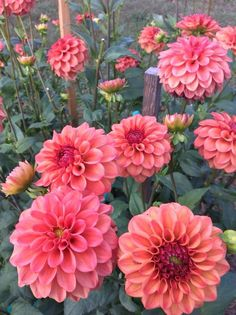 Dahlia Ice Tea Growing in 2016 Exotic Flowers, Fresh Flowers, Spring Flowers, Beautiful Flowers, Dahlia Flower, My Flower, Flower Power, Herbaceous Perennials, No Rain