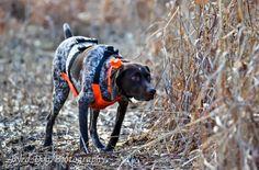 Nobelles Beautiful Cleopatra SH  Adventures of a GSP Hunting Dog #GSP # Germanshorthairedpointer #huntingdog #gundog #puppy #VonschonheitGSP's