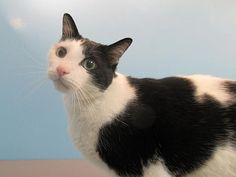 This handsome guy is looking for a mellow, low traffic home where he is pampered and adored. Bartelby can be nervous in new situations but give him the time he needs to adjust and he'll be your friend in no time.  Bartelby may do best in a quiet home without small children. Once he feels comfortable, ______ gives the best head-butts and purrs like a champ! Give this gorgeous boy a second chance at love!<br> <br>The adoption fee includes spay/neuter, microchip ID, collar ...