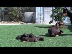 doberman mom keeping dad away from the pups - YouTube
