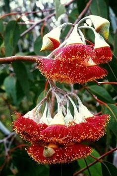 Flor de eucalipto.