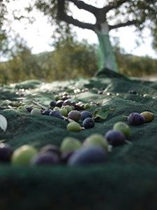 The olive harvest. The nets assure a soft landing to the olives picked