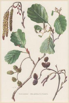 1960 Vintage Botanical Print Alnus glutinosa Black by Craftissimo