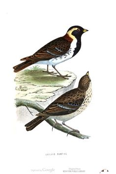 Lapland bunting. A history of British Birds, v. 2, by F. O. Morris. #ornithology #birds