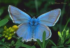 Blue Butterfly - Looks like a stuffed animal...so soft and fuzzy!