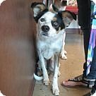 Irving, TX - Border Collie. Meet Lily, a for adoption. http://www.adoptapet.com/pet/15874944-irving-texas-border-collie-mix