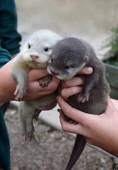 \Baby Otters/ Birth usually takes place in the water and typically produces a single pup weighing 1.4 to 2.3 kg (3 to 5 lb).* At birth, the eyes are open, ten teeth are visible, and the pup has a thick coat of baby fur.** Source: *Nowak, Roland M. (1991). Walker's Mammals of the World Volume II (Fifth ed.). **Kenyon, p.44