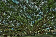 Lahaina Banyan Tree  This Banyan Tree was first planted in April, 1873. It was imported from India and was only 8 feet tall. It now stands over 60 feet high, has 12 major trunks in addition to the core. It stretches over a 200-foot area and shades 2/3 of an acre.