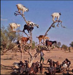 Goats on a tree - Kurdistan
